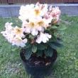 Danuta Szumlańska-Rododendron