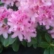 Kuba Szczepanski-Rododendron