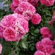 marzena-kabat-roza-pnaca