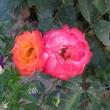 zdzislaw-drobot-roza