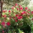 danuta-wrona-rododendron