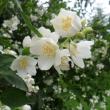 Irla J. - \'Kwiaty jabłoni\'