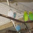 papugi2