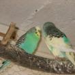 papugi3